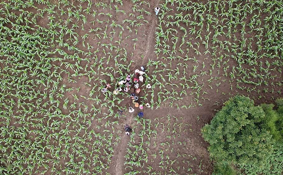 Les femmes de la coopérative dans les champs de maïs