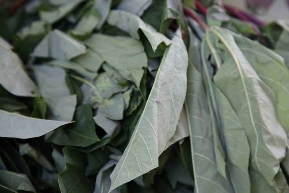 Les feuilles fraiches de manioc